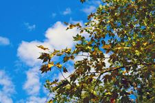 Free Maple Leaves Against Blue Sky Stock Photography - 26921012