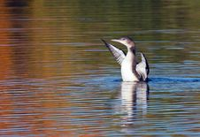 Young Common Loon Royalty Free Stock Image