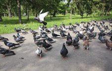 Flock Of Pigeons Royalty Free Stock Photography