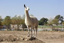 Free Llama On Lookout Stock Photography - 26923442