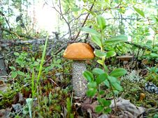 Lone Mushroom Boletus Royalty Free Stock Images