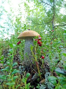 Lone Mushroom Boletus Royalty Free Stock Image