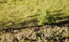 Free Pine With Shade In Heather Stock Image - 26926331