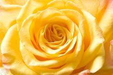 Yellow Rose Bud Royalty Free Stock Image