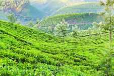 Free Tea Plantation Royalty Free Stock Photos - 26930648