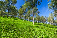 Free Tea Plantation Stock Photography - 26930662