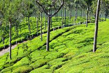 Free Tea Plantation Royalty Free Stock Images - 26930669