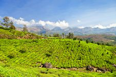 Free Tea Plantation Stock Images - 26930674