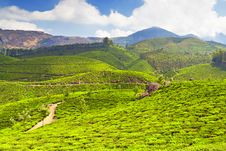 Free Tea Plantation Stock Images - 26930834
