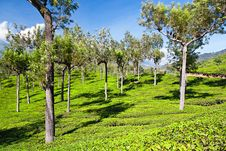 Free Tea Plantation Royalty Free Stock Photography - 26930937