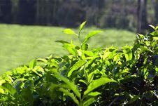 Free Tea Leaves Stock Image - 26930941