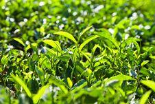 Free Tea Leaves Stock Photo - 26930950