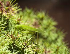 Free Grasshopper Royalty Free Stock Photos - 26932158