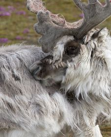 Free Arctic Reindeer Stock Photo - 26934360