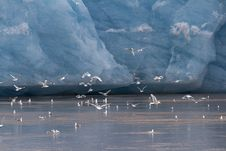 Free A Flock Of Kittiwakes Stock Photography - 26934412