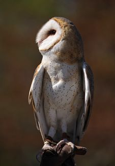 Free Portrait Of Barn Owl Royalty Free Stock Photography - 26935577