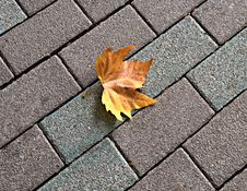 Lonely Yellow Maple Leaf On Paving Stock Image