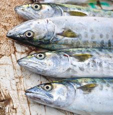 Free King Mackerel Fish Royalty Free Stock Images - 26936629