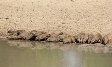 Free Mongoose, Banded - African Band Of Brothers 2 Royalty Free Stock Photography - 26937337