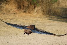 Free Eagle, Bateleur - Wind Under Wing Royalty Free Stock Photos - 26938288