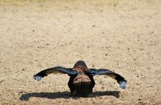 Free Eagle, Bateleur - The Pre-flight Check Royalty Free Stock Photography - 26938917