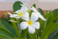 Free Frangipani Flowers Stock Photo - 26949690