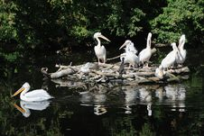 Free Pelicans Stock Images - 26945944