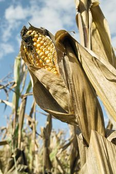 Free Corn, Ears Mature Stock Images - 26946764