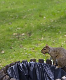 Free Trash Squirrel Stock Photography - 26949142