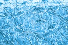 Free Reed Covered With Frost. Stock Images - 26949954
