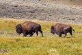 Free Yellowstone Bison Stock Image - 26951871