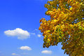 Free Autumn Leaves Of The Maple Tree Stock Photography - 26953662