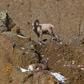 Free Bighorn Sheep Ovis Canadensis Royalty Free Stock Photo - 26957125