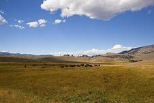Free Yellowstone Buffalo Herd Royalty Free Stock Photography - 26951537