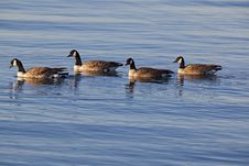 Free Canada Geese On Water Stock Image - 26956171