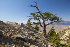 Free Old Snag On Heart Mountain Royalty Free Stock Image - 26956246