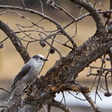Free Gray Jay Perisoreus Canadensis Royalty Free Stock Photography - 26956497