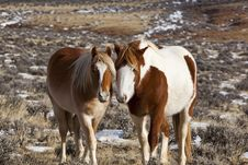 Wild Mustang Mare With Colt Royalty Free Stock Image