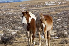 Wild Horses In Wyoming Royalty Free Stock Photo
