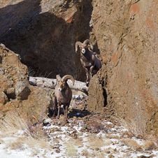 Bighorn Sheep Ovis Canadensis Royalty Free Stock Image