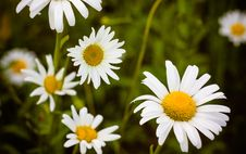 Free White Chamomile Royalty Free Stock Photography - 26958557