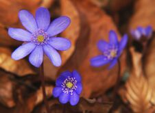 Free Hepatica Spring Flowers Royalty Free Stock Photography - 26959527
