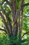 Free Large Oak With Vine Royalty Free Stock Photos - 26957118