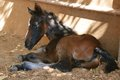 Free Arabian Lipizzaner Mix Colt Royalty Free Stock Photo - 26960665