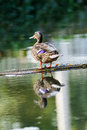 Free Wild Duck Stock Photography - 26963642