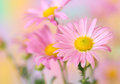 Free Pink Chrysanthemum Flowers Royalty Free Stock Images - 26965919