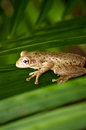 Free Cuban Tree Frog On Palm Frond Stock Photos - 26968333
