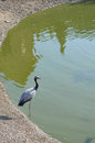 Free Heron Portrait Near Lake Royalty Free Stock Photo - 26968685