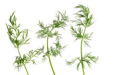 Free Green Fennel Leaf Isolated Stock Images - 26961214