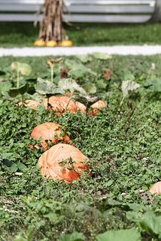 Free Pumpkin Patch Royalty Free Stock Image - 26962836